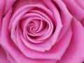 Plants - Rose