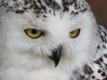Black-White-Owl