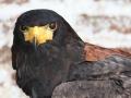 Eagle65