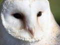 White-Owl