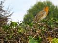 Wildlife - Robin