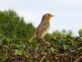 Wildlife - Robin2